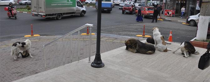 Sokak köpekleri sorunu çözülemiyor!