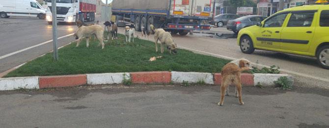 Sokak köpekleri istilası