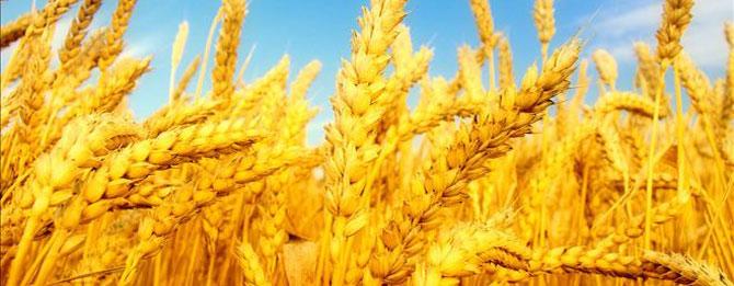 İşte Muratlı buğday istatistikleri